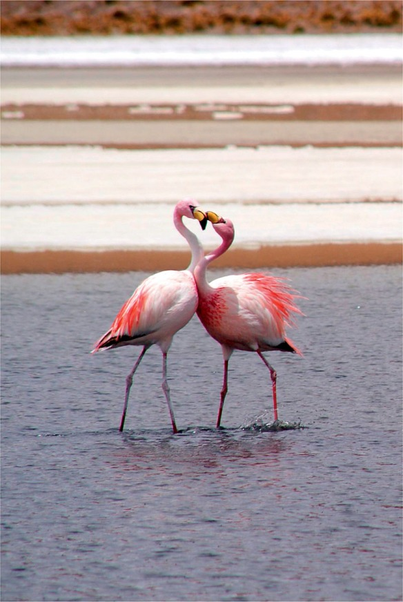 Bolivie Coeur de flamants roses